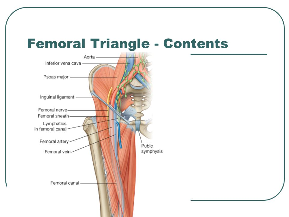 Femoral Triangle - Contents