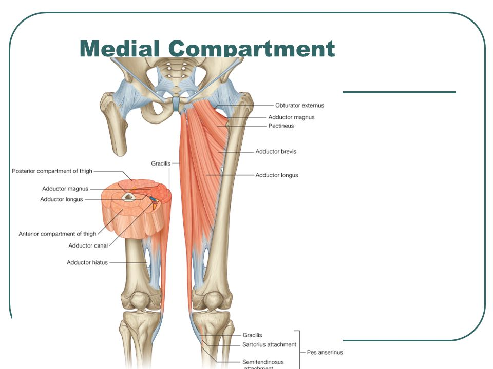 Medial Compartment