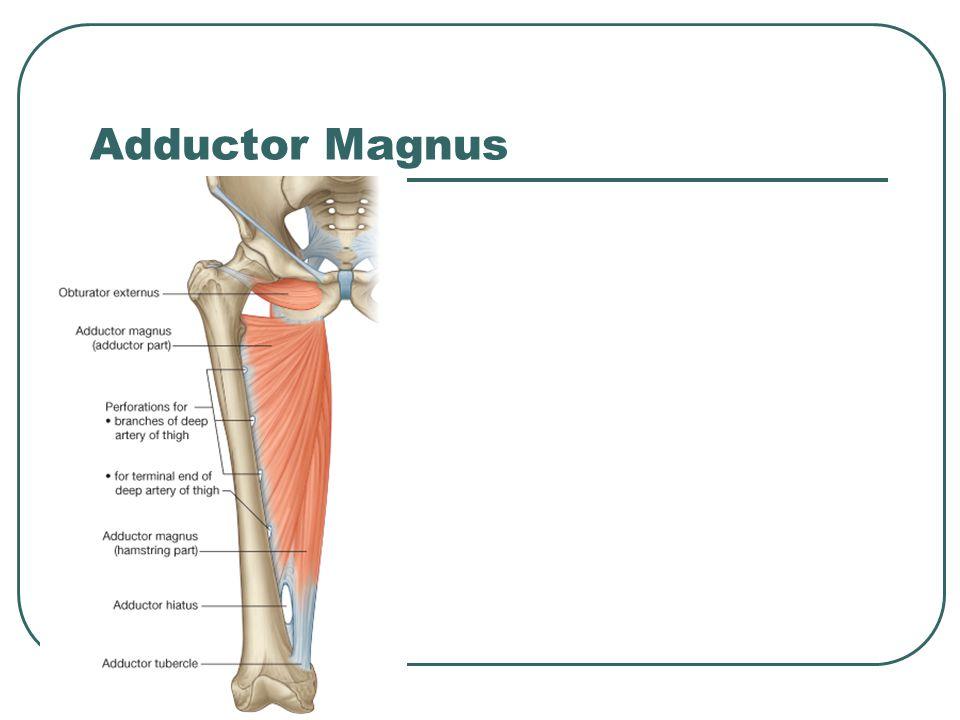 Adductor Magnus