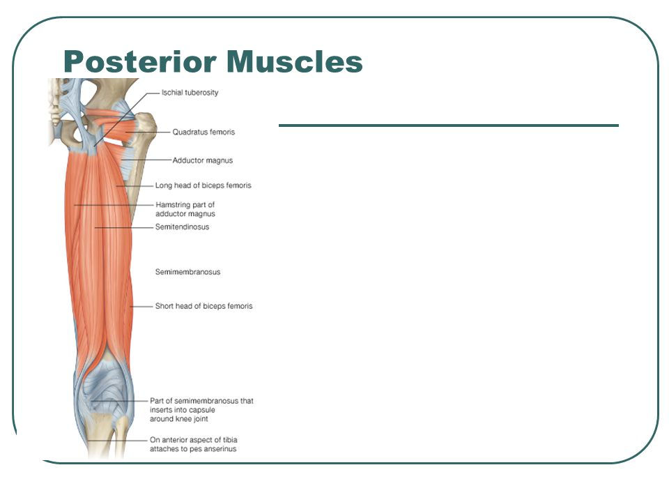Posterior Muscles