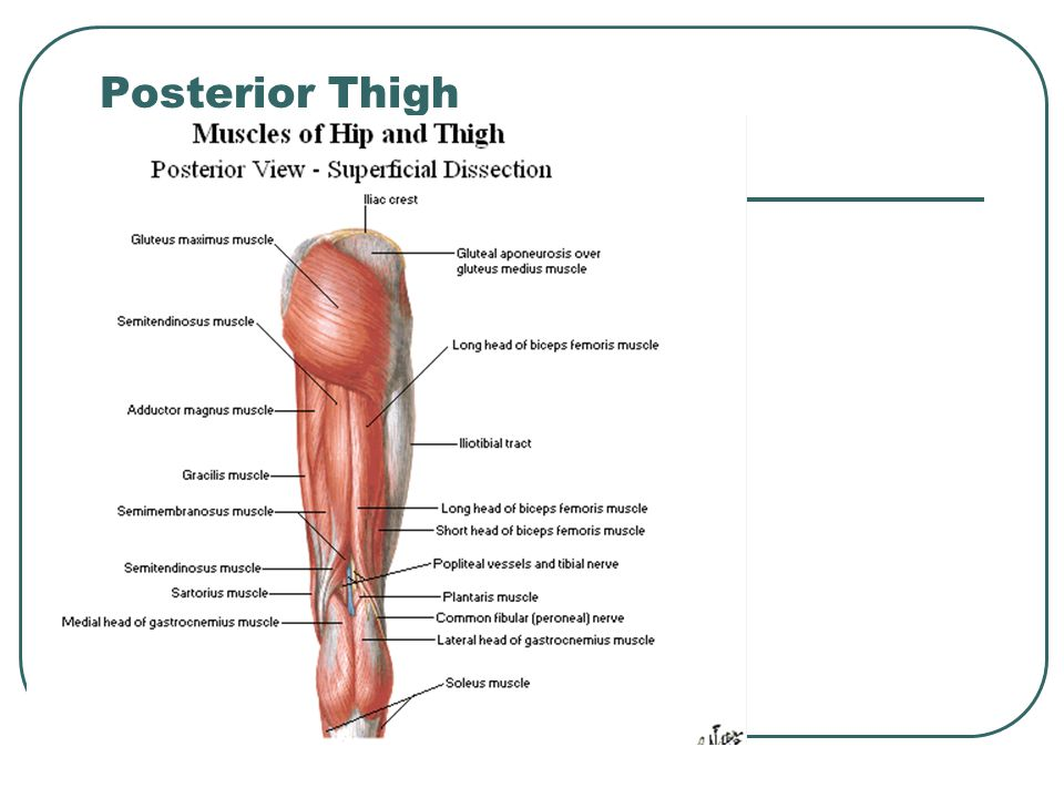 Posterior Thigh Related Keywords & Suggestions - Posterior ...