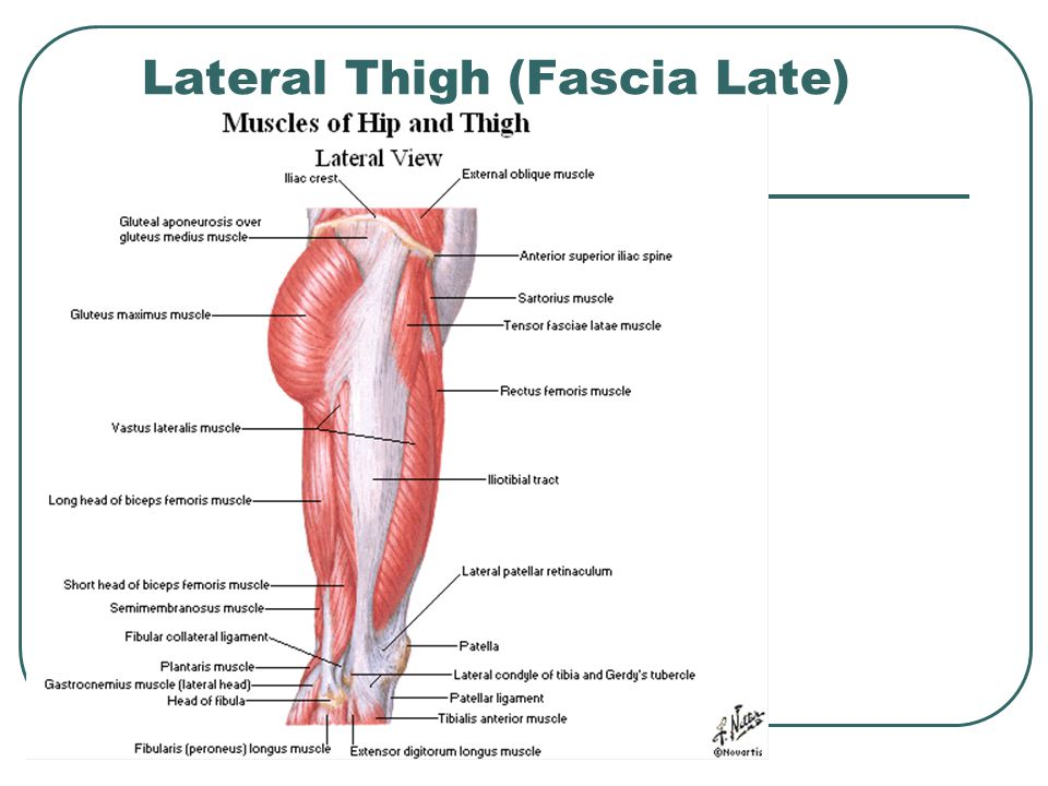 Lateral Thigh (Fascia Late)