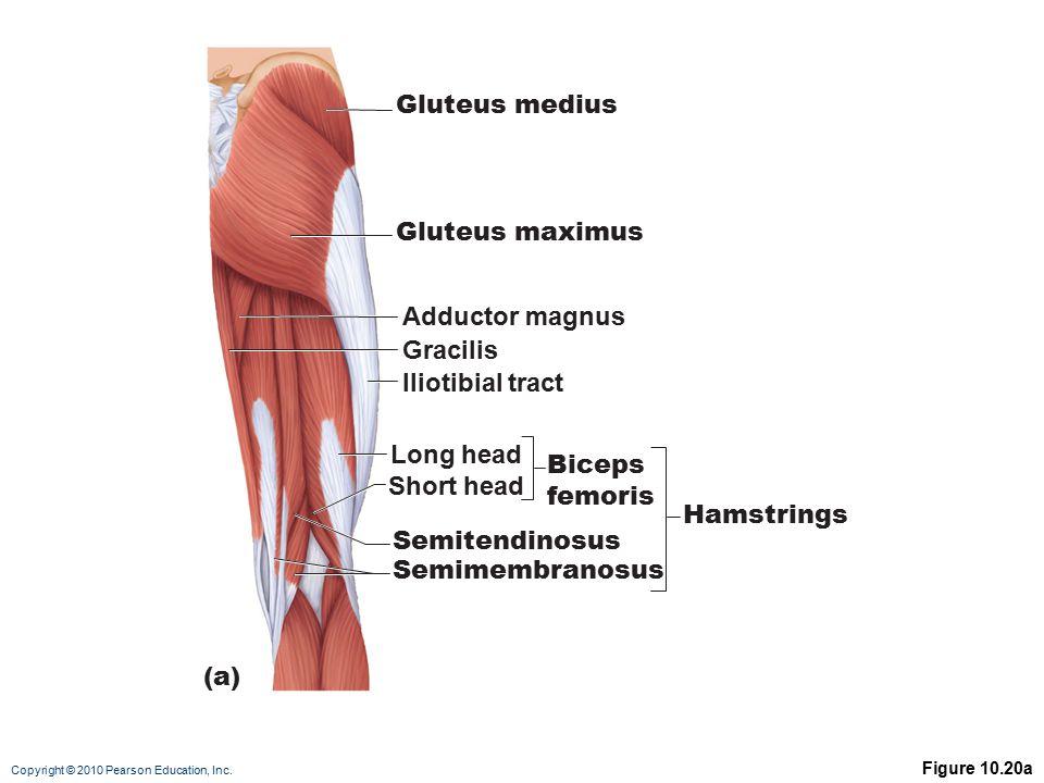 Gluteus medius Gluteus maximus Adductor magnus Gracilis