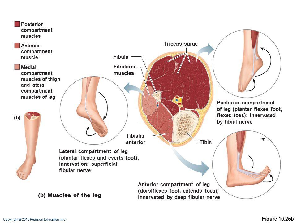 Posterior compartment of leg (plantar flexes foot,