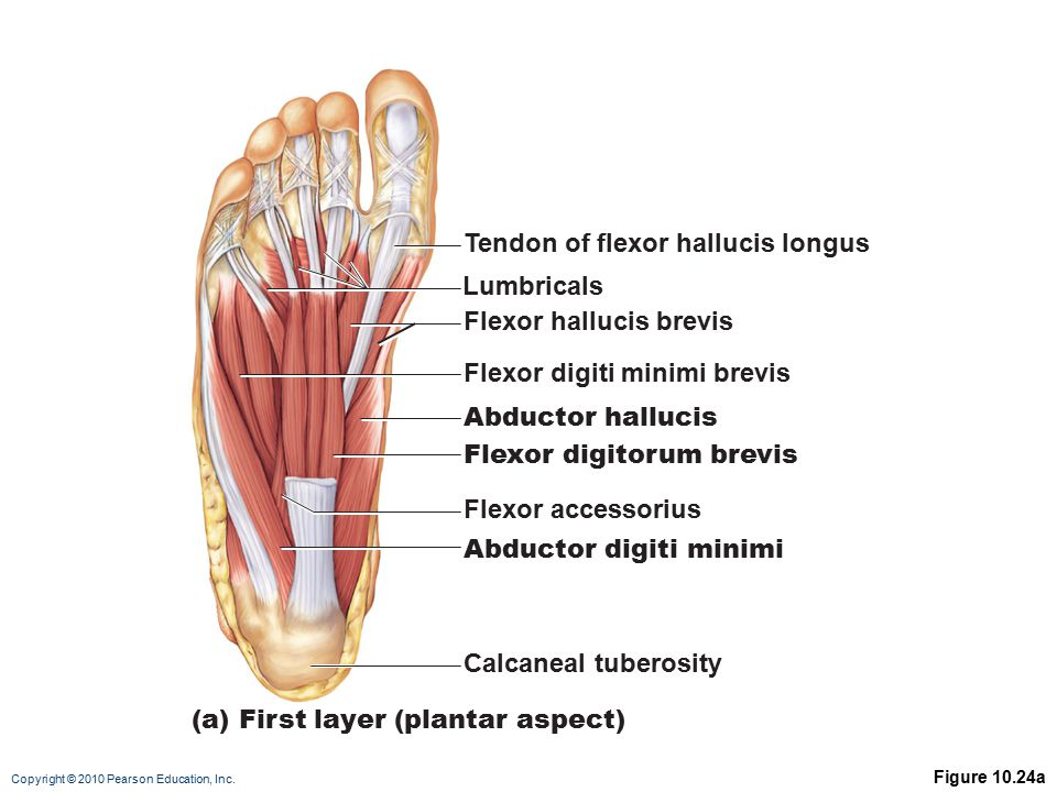 Tendon of flexor hallucis longus
