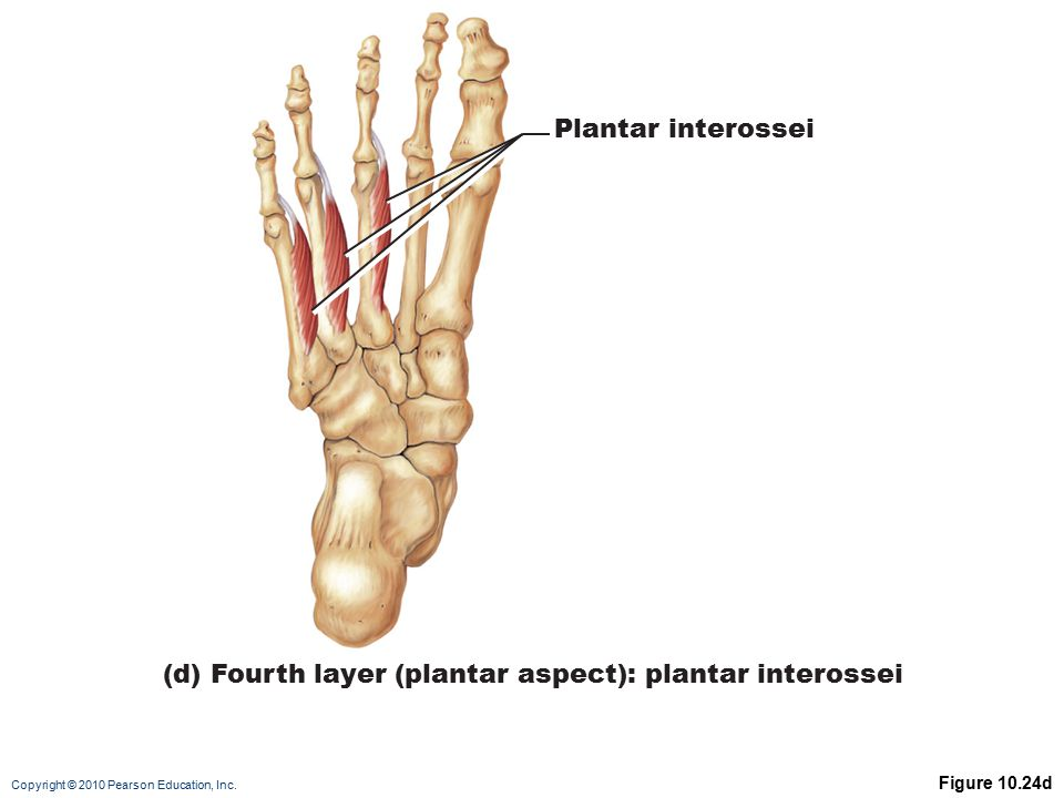 (d) Fourth layer (plantar aspect): plantar interossei