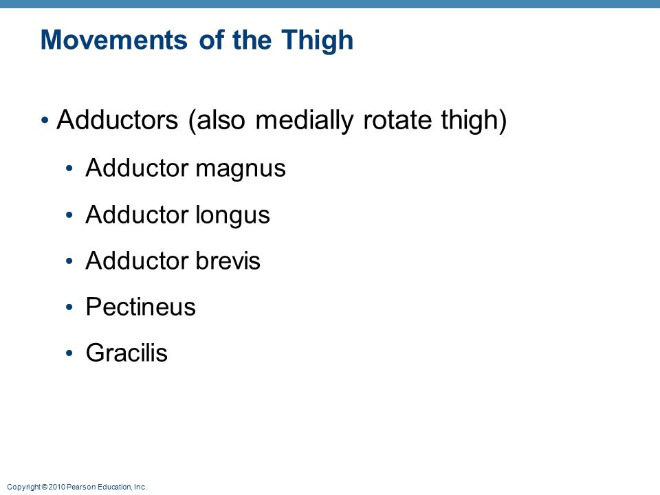 Adductors (also medially rotate thigh)