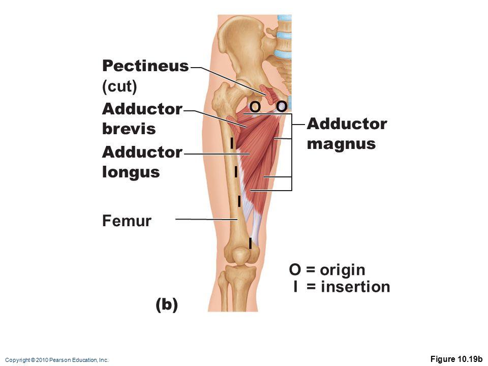 Pectineus (cut) Adductor brevis Adductor magnus Adductor longus Femur