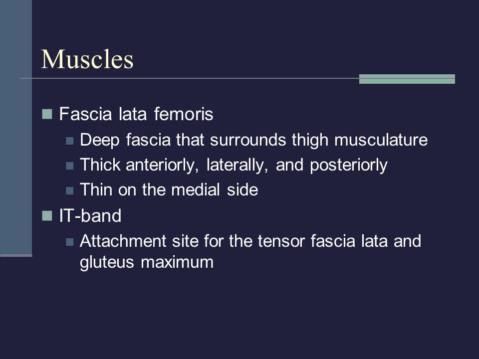 Muscles Fascia lata femoris IT-band