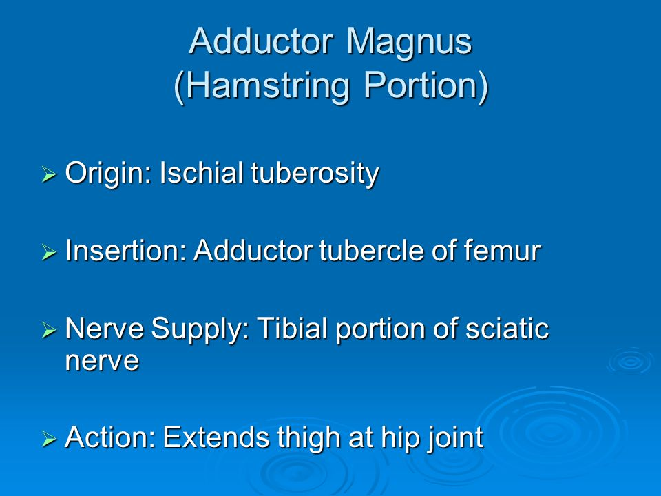 Adductor Magnus (Hamstring Portion)