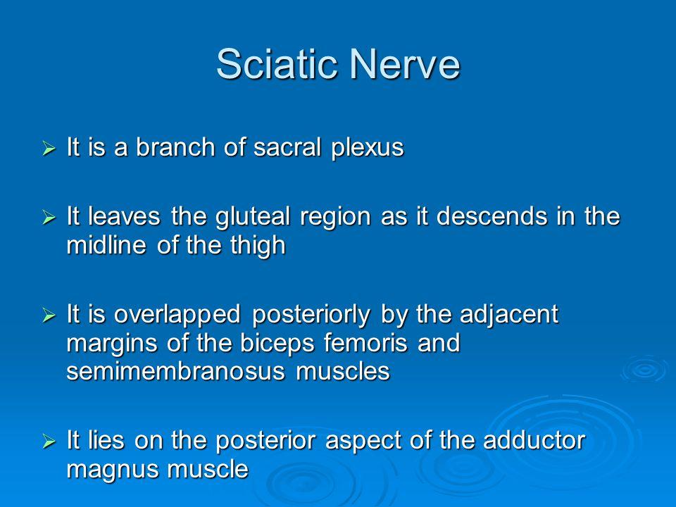 Sciatic Nerve It is a branch of sacral plexus