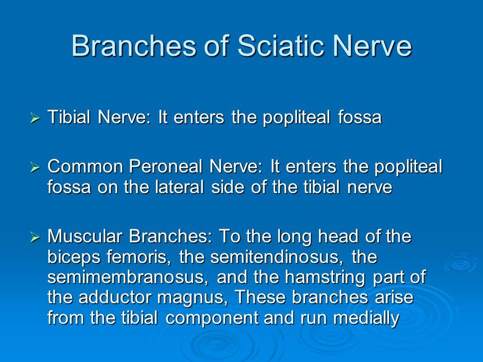 Branches of Sciatic Nerve
