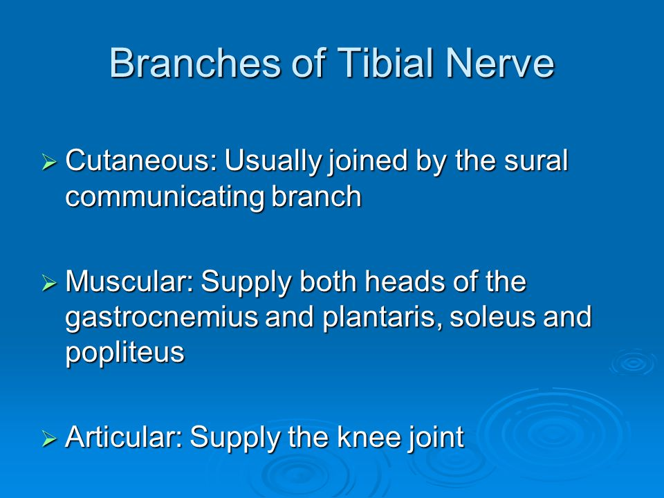 Branches of Tibial Nerve