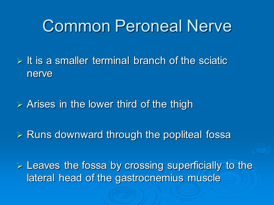Common Peroneal Nerve It is a smaller terminal branch of the sciatic nerve. Arises in the lower third of the thigh.