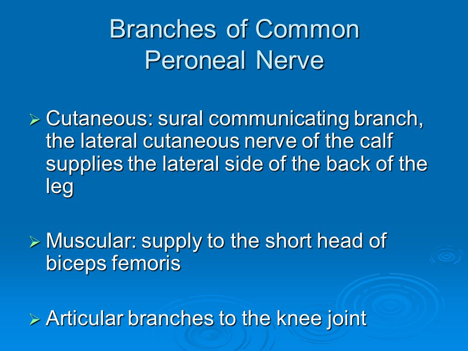 Branches of Common Peroneal Nerve