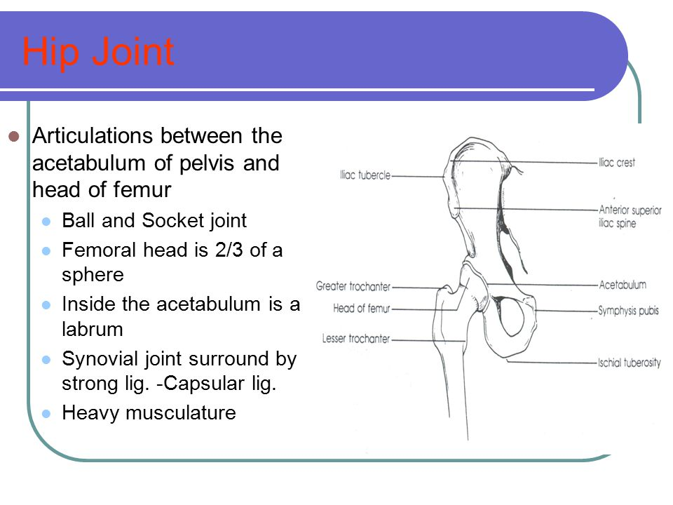 Hip Joint Articulations between the acetabulum of pelvis and head of femur. Ball and Socket joint.