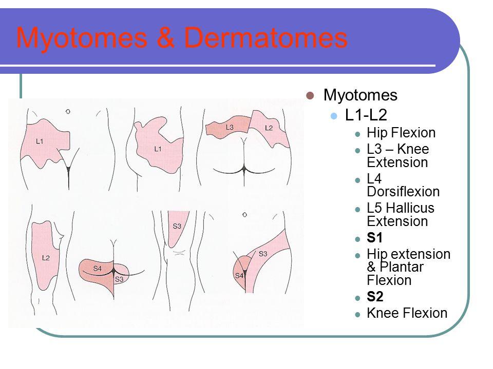 Myotomes & Dermatomes Myotomes L1-L2 Hip Flexion L3 – Knee Extension