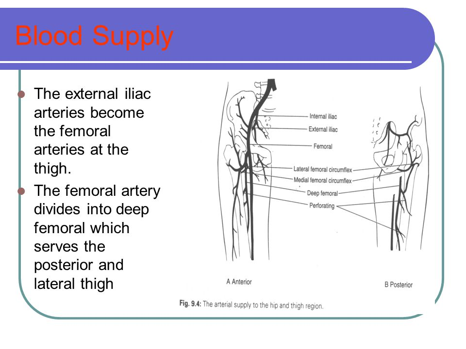 Blood Supply The external iliac arteries become the femoral arteries at the thigh.