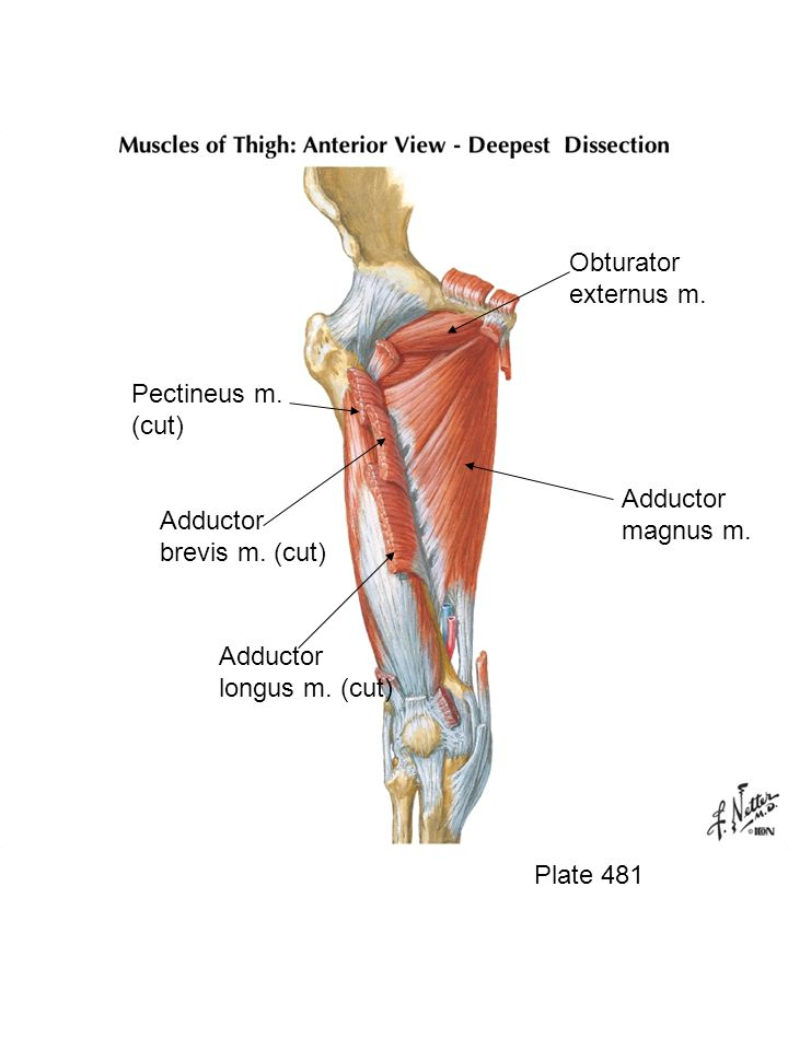Adductor Magnus Anatomy Gallery Human Body Anatomy