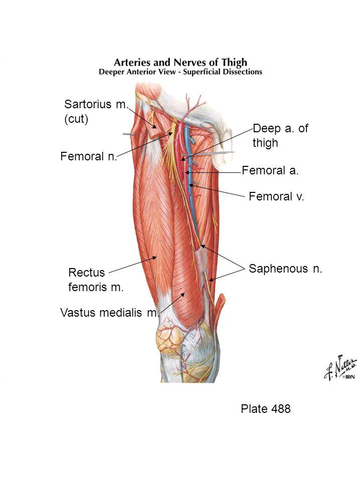 Sartorius m. (cut) Deep a. of thigh Femoral n. Femoral a. Femoral v.