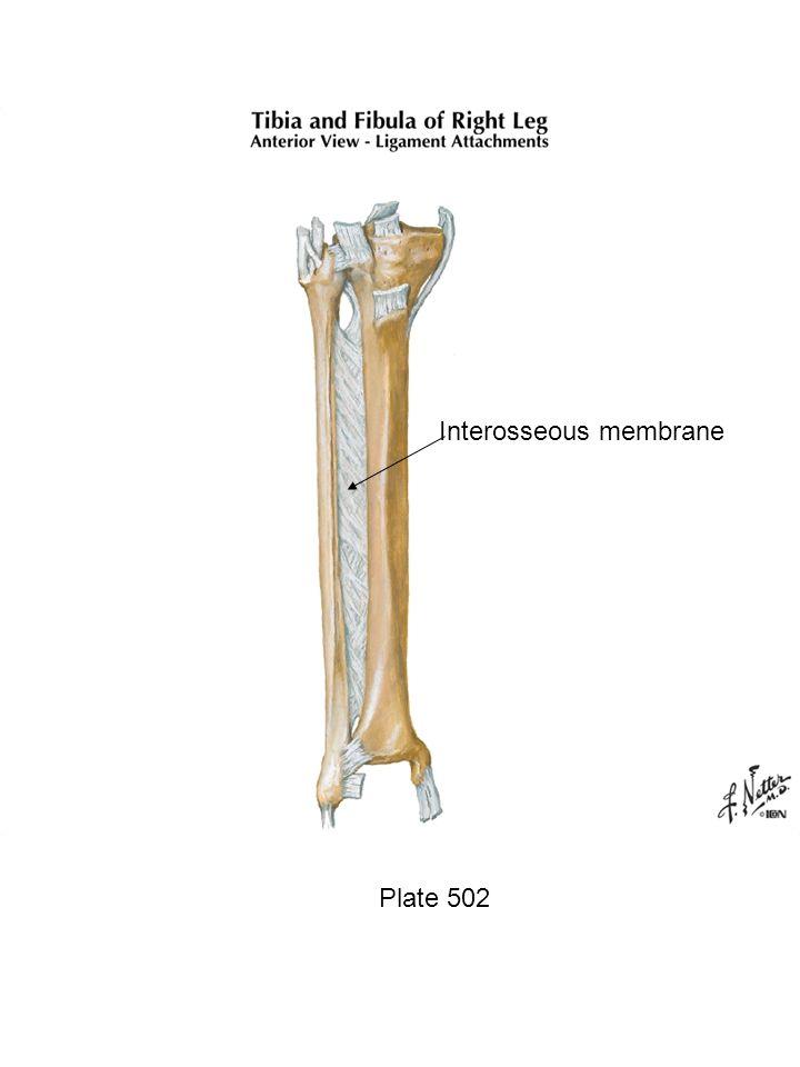 Interosseous membrane