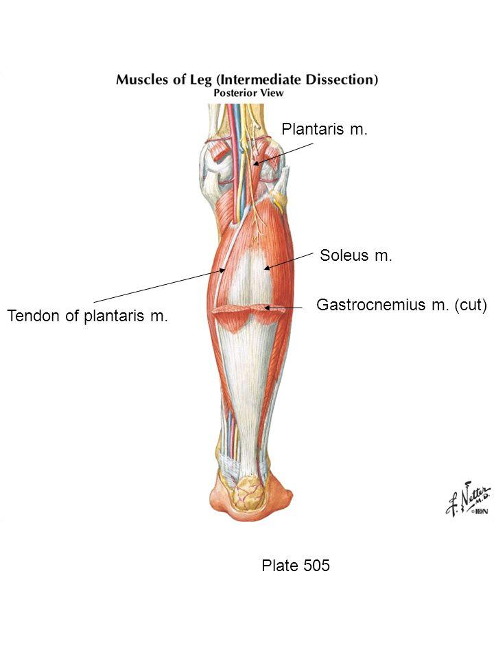 Plantaris m. Soleus m. Gastrocnemius m. (cut) Tendon of plantaris m.