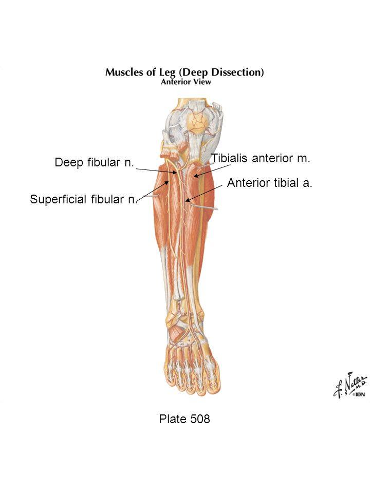 Tibialis anterior m. Deep fibular n. Anterior tibial a.