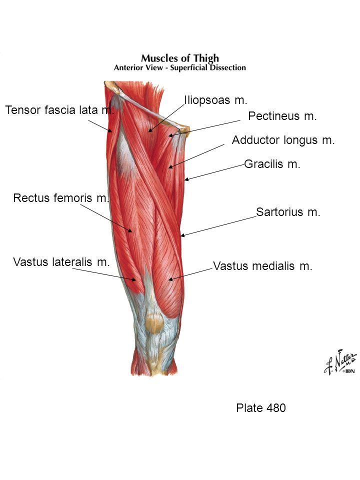 Iliopsoas m. Tensor fascia lata m. Pectineus m. Adductor longus m.