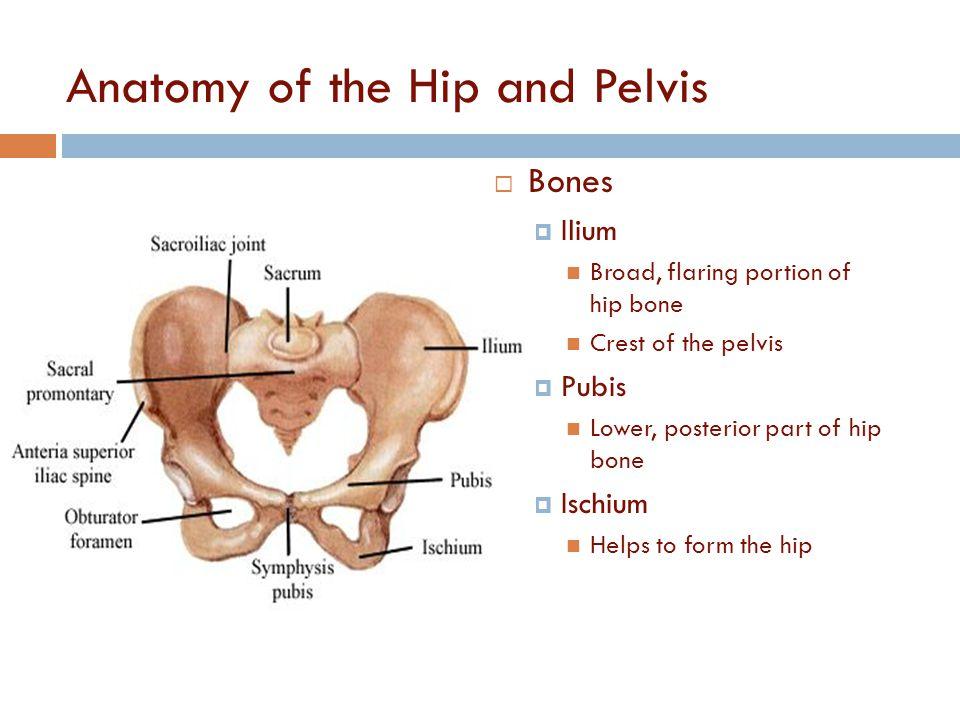 Anatomy of hip bones