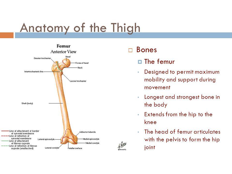 Anatomy of the Thigh Bones The femur