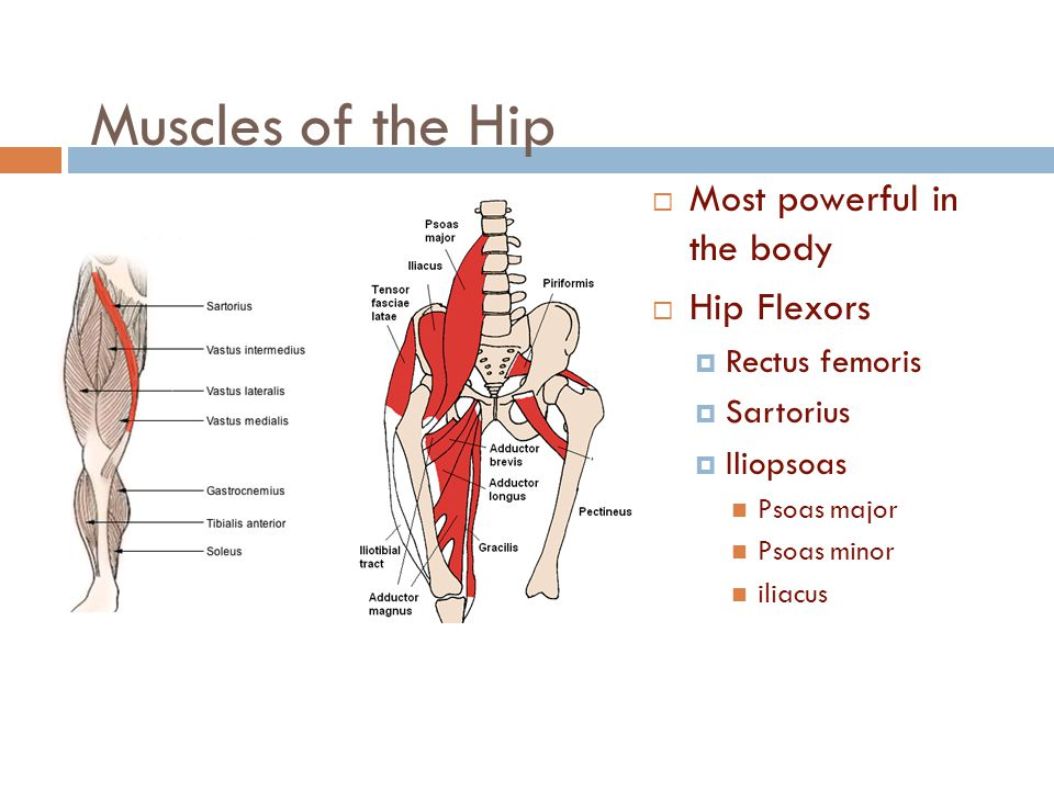 Muscles of the Hip Most powerful in the body Hip Flexors