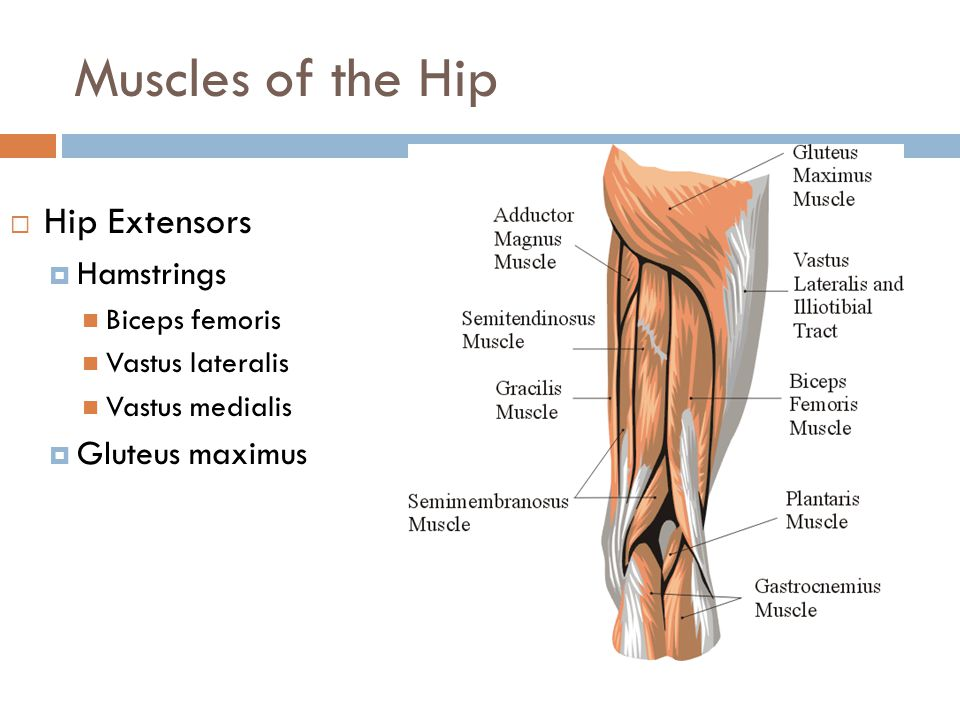 Muscles of the Hip Hip Extensors Hamstrings Gluteus maximus