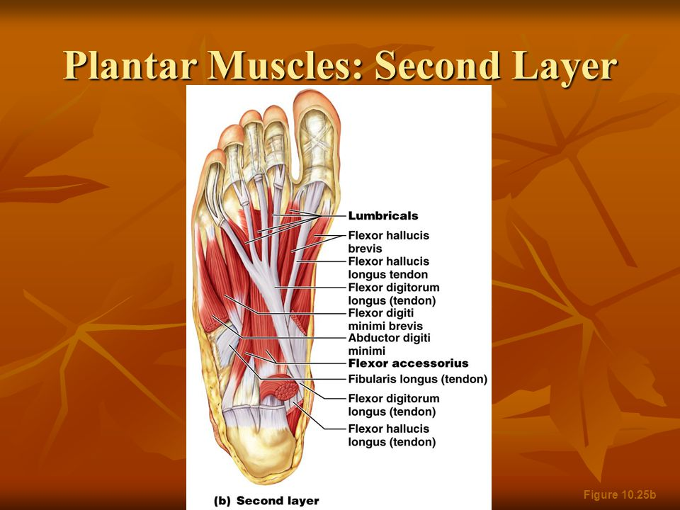 Plantar Muscles: Second Layer