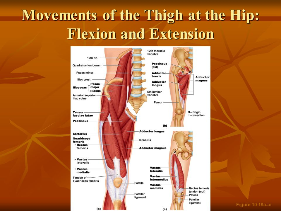 Movements of the Thigh at the Hip: Flexion and Extension