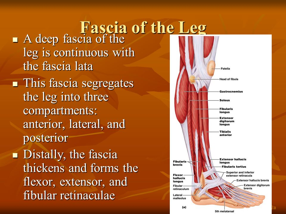 Fascia of the Leg A deep fascia of the leg is continuous with the fascia lata.