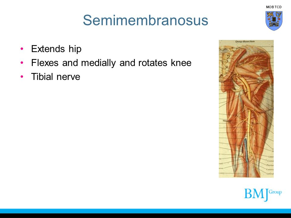 Semimembranosus Extends hip Flexes and medially and rotates knee