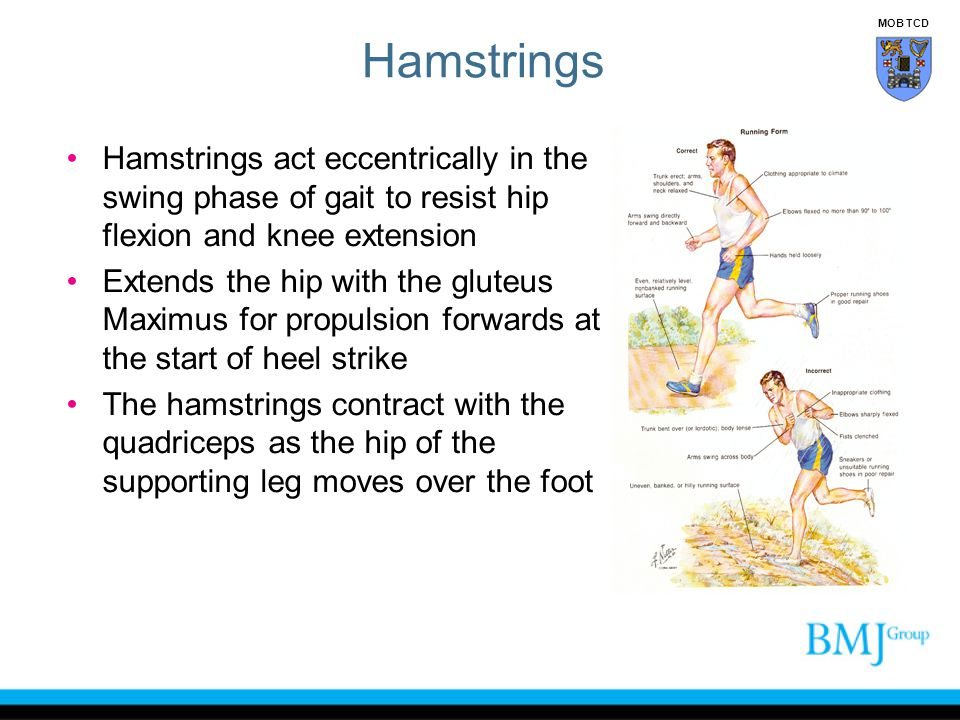 Hamstrings MOB TCD. Hamstrings act eccentrically in the swing phase of gait to resist hip flexion and knee extension.