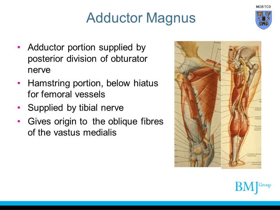Adductor Magnus MOB TCD. Adductor portion supplied by posterior division of obturator nerve. Hamstring portion, below hiatus for femoral vessels.