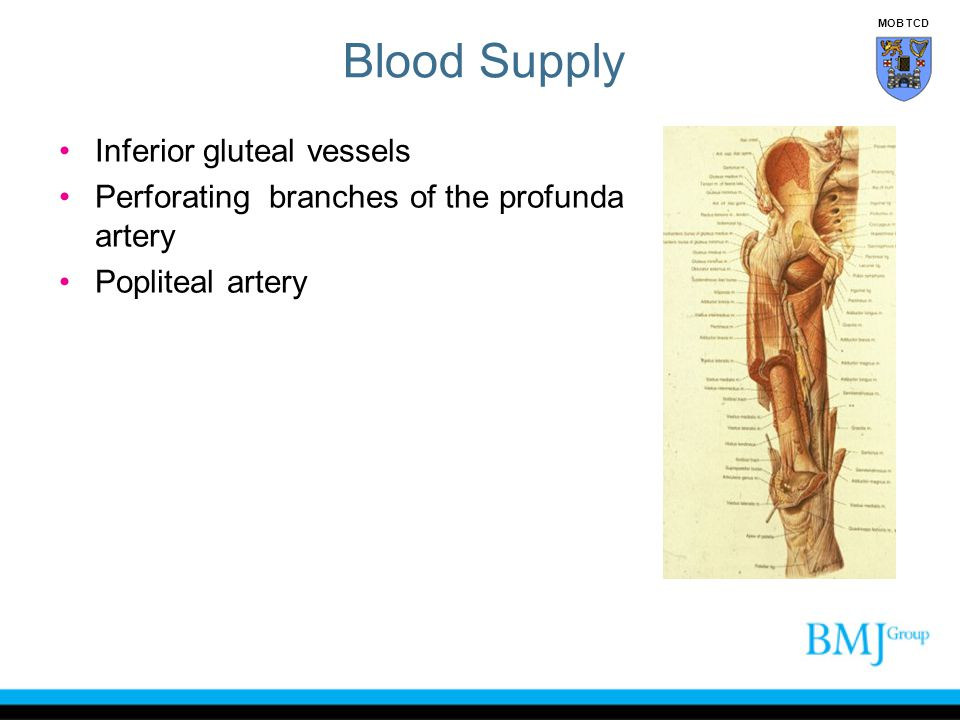 Blood Supply Inferior gluteal vessels