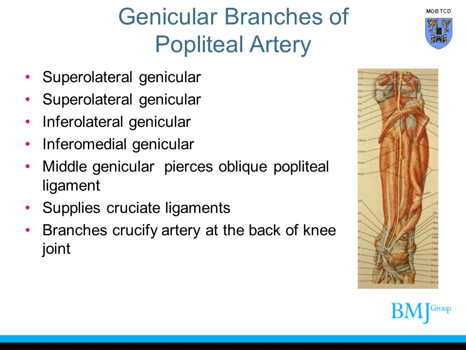 Genicular Branches of Popliteal Artery