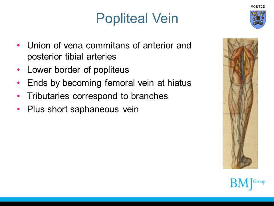 Popliteal Vein MOB TCD. Union of vena commitans of anterior and posterior tibial arteries. Lower border of popliteus.