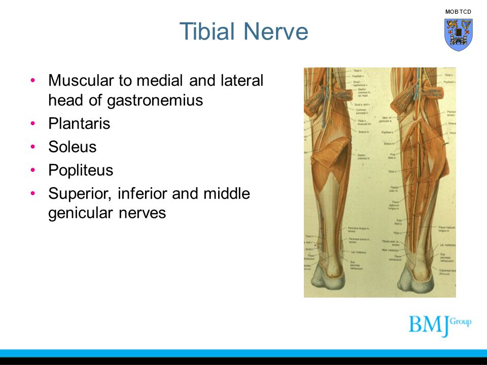 Tibial Nerve Muscular to medial and lateral head of gastronemius