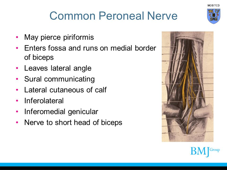 Common Peroneal Nerve May pierce piriformis