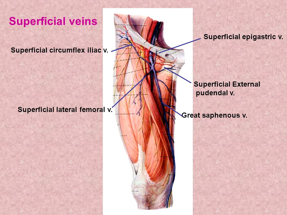 Superficial veins Superficial epigastric v.