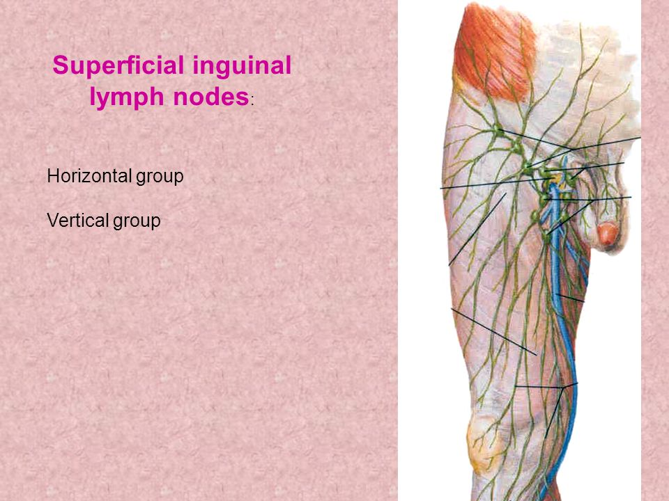 Superficial inguinal lymph nodes: