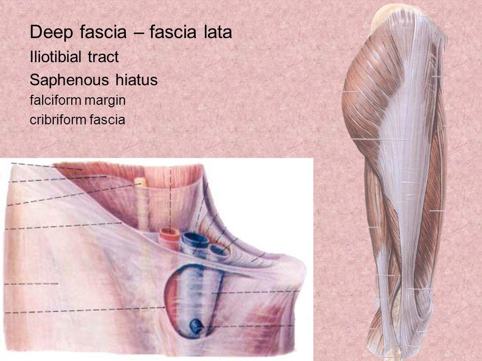 Deep fascia – fascia lata
