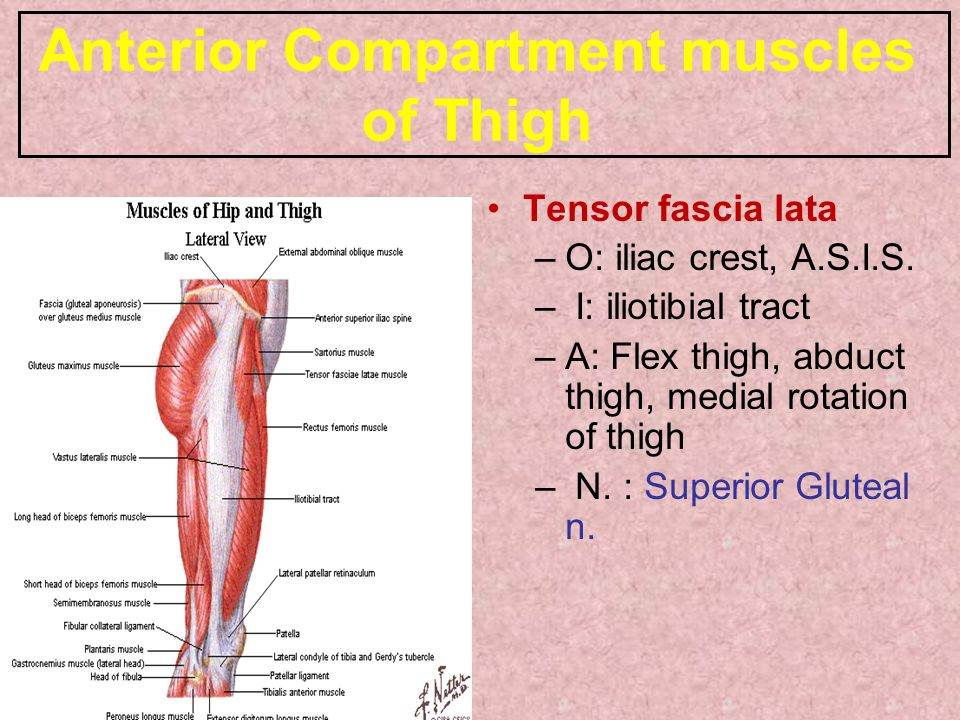 Anterior Compartment muscles of Thigh