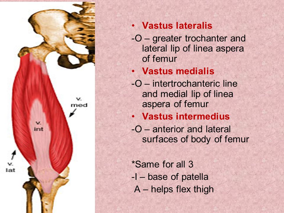 Vastus lateralis -O – greater trochanter and lateral lip of linea aspera of femur. Vastus medialis.