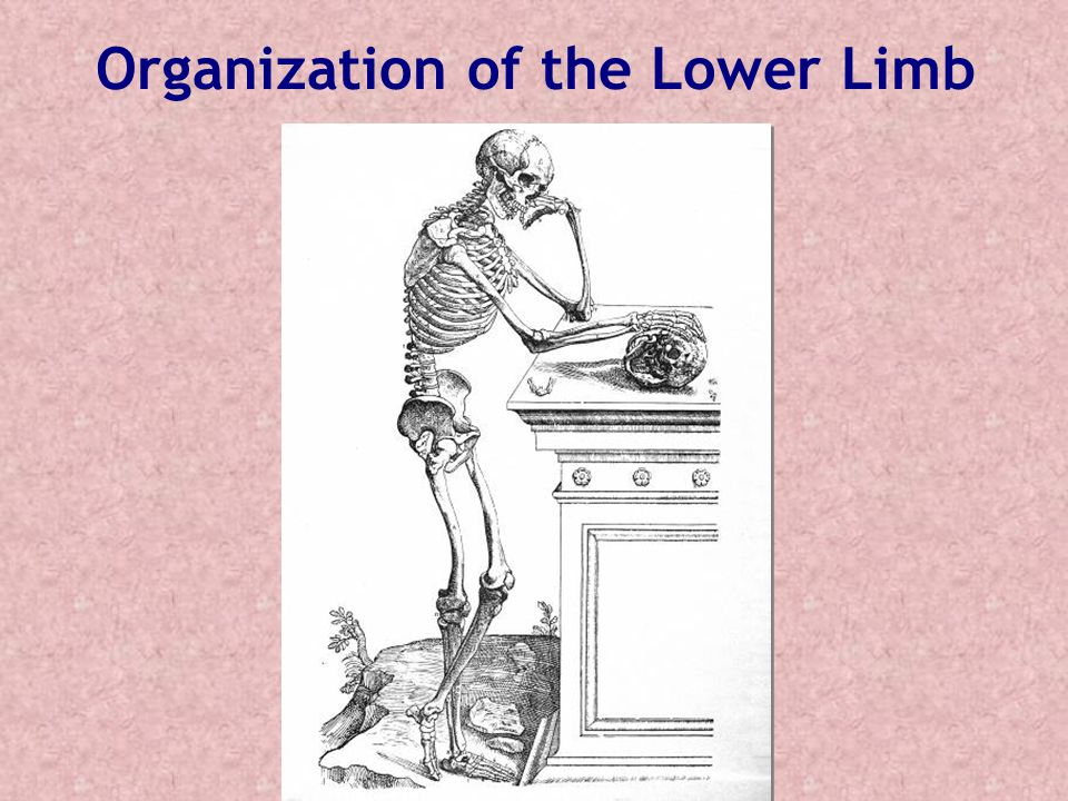 Organization of the Lower Limb