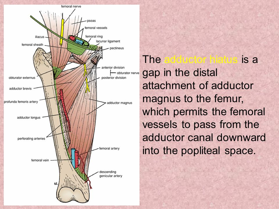 The adductor hiatus is a gap in the distal attachment of adductor magnus to the femur, which permits the femoral vessels to pass from the adductor canal downward into the popliteal space.